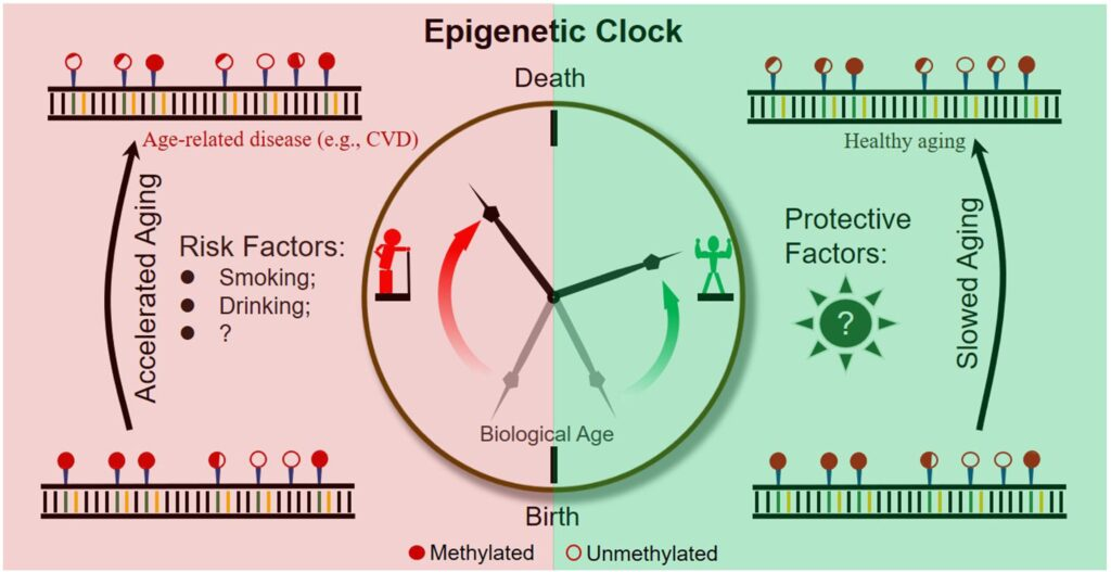 HORVATH CLOCK OF AGEING
