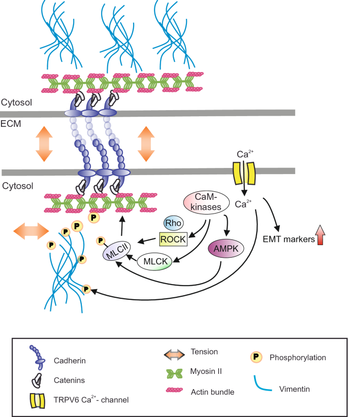 Role of TRPV6 in cancer